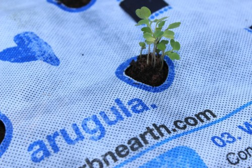 Arugula GrowUp Sprouts