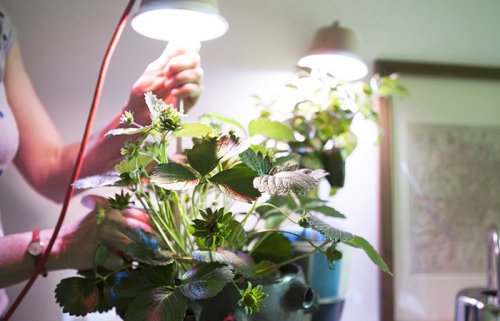Bulbo_Cynara_growlight_00